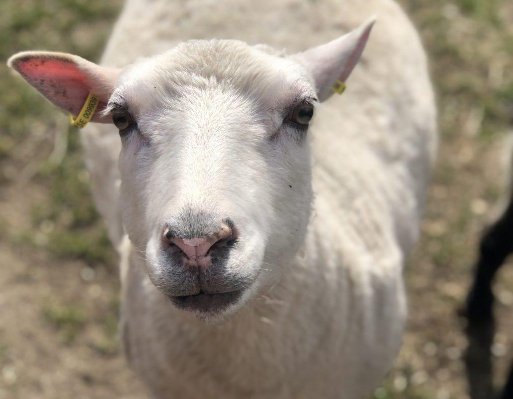 En bild på ett litet lamm som tittar in i kameran.