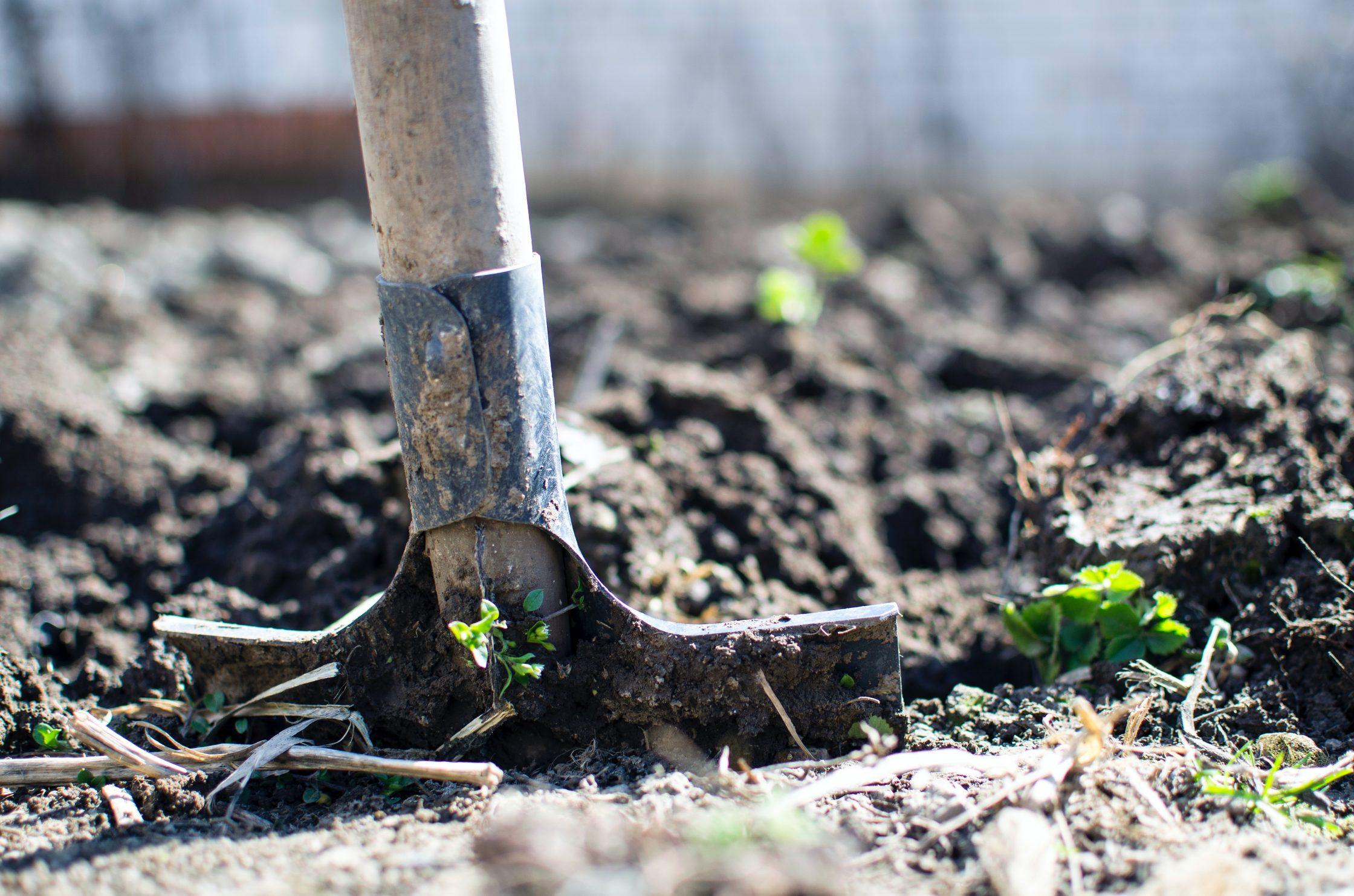 En spade som sjunker ner i jorden i ett trädgårdsland.